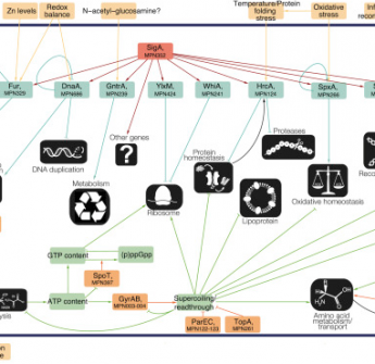 Determination of the Gene Regulatory Network of a Genome-Reduced Bacterium Highlights Alternative Regulation Independent of Transcription Factors
