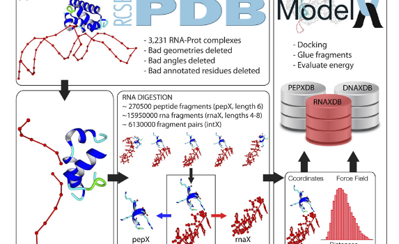 Protein-assisted RNA fragment docking (RnaX) for modeling RNA–protein interactions using ModelX