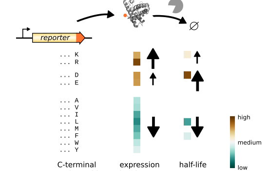 Impact of C-terminal amino acid composition on protein expression in bacteria