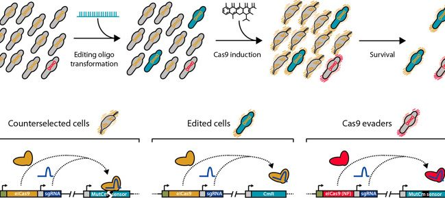 Mycoplasma pneumoniae Genome Editing Based on Oligo Recombineering and Cas9-Mediated Counterselection