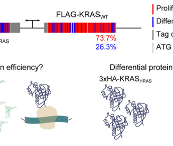 Mutation bias within oncogene families is related to proliferation-specific codon usage