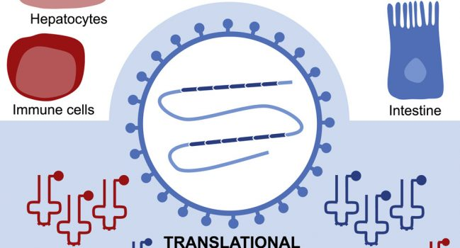 Translational adaptation of human viruses to the tissues they infect
