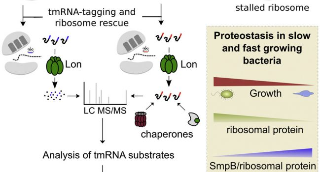 Widespread ribosome stalling in a genome-reduced bacterium and the need for translational quality control